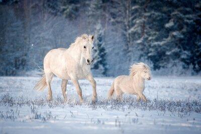Plakát Dva bílí koně běží na hřišti v zimě