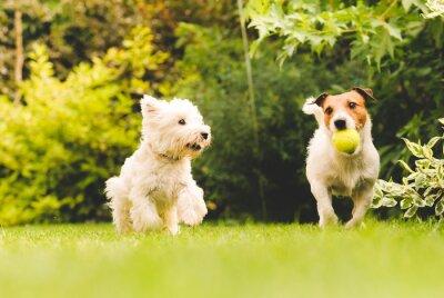 Plakát Dva psi hrají s míčem.