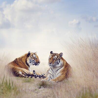 Plakát dva tygři