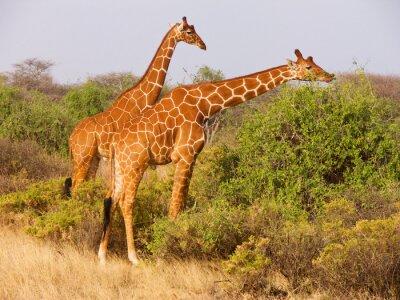 Plakát Dva žirafa síťovaná jíst listí z keřů
