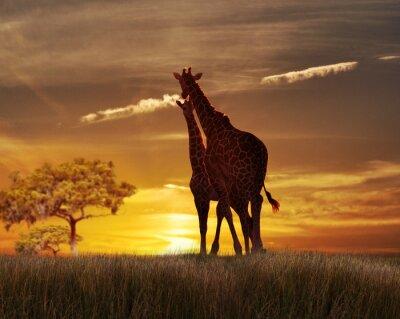 Plakát Dva Žirafy při západu slunce