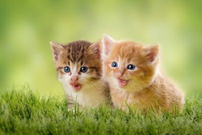 Plakát dvě koťata