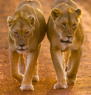Plakát Dvě lvice chůzi na silnici v národním parku. Keňa. Tanzanie. Masai Mara. Serengeti. Vynikající ukázkou.