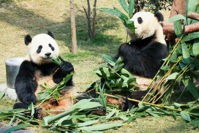 Plakát Dvě pandy jíst bambus