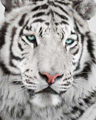 Plakát Elegantní bílý tygr portrét