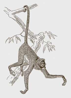 Plakát Endangered white-bellied spider monkey (ateles belzebuth) hanging with its tail at a branch. Illustration after an engraving from the 19th century