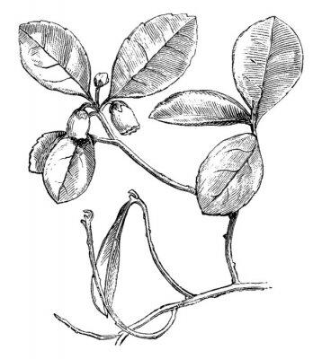 Plakát Flowering Branch of Gaultheria Procumbens (Creeping Wintergreen) vintage illustration.