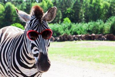 Plakát Funny Zebra se slunečními brýlemi