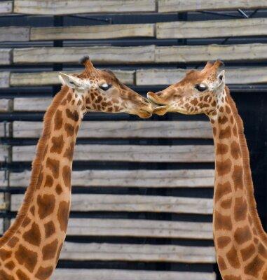 Plakát Girafes, baiser