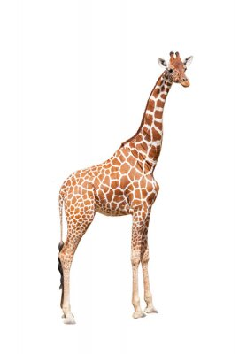 Plakát Giraffe to the utmost. It is isolated on the white