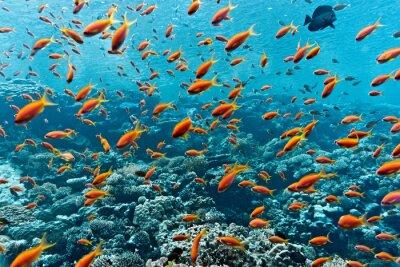 Plakát Hejno anthias ryb na korálový útes