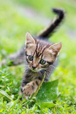 Plakát hnědé pruhy roztomilé kotě chůzi na trávě