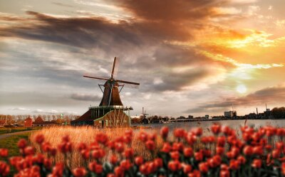 Plakát Holandské větrné mlýny s červenými tulipány zavřít Amsterdam, Holandsko