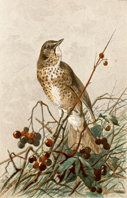 Plakát Ilustrační zoologie / Turdus philomelos / Grive musicienne