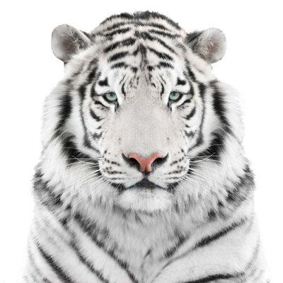 Plakát Izolované bílý tygr