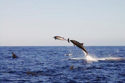 Plakát Jumping Dolphins - Galapagos