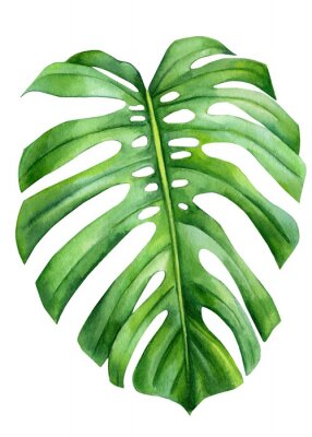 Plakát Jungle green leaves of monstera creepers on an isolated white background, watercolor illustration, botanical painting