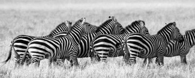 Plakát Keňa. Tanzanie. Národní park. Serengeti. Masai Mara. Vynikající ukázkou.