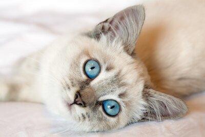 Plakát Kitten Blue Eyes