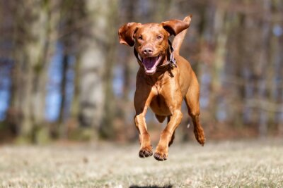 Plakát Kooikerhondje pes venku v přírodě