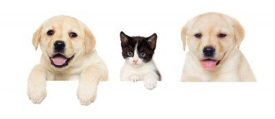Plakát kotě a štěně Labrador peeps