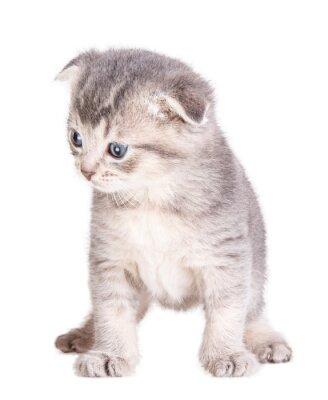 Plakát kotě na bílém