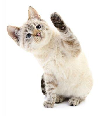 Plakát Kotě na bílém pozadí