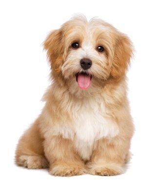 Plakát Krásná šťastná načervenalé havanský psík štěně sedí čelní