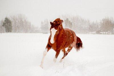 Plakát Krásné kaštan kůň běží ve sněhu oblasti volného