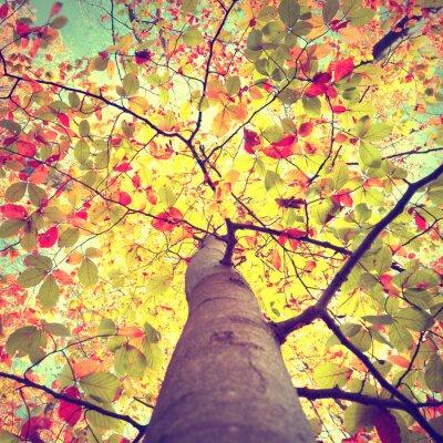 Plakát Krásné vintage podzimní sezónní sluníčko svítí přes barevné bukového listí strom. Podívejte se, až do koruny slunných podzimních stromů.