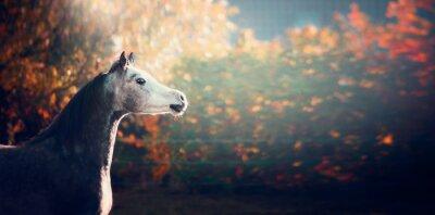 Plakát krásný arabský kůň s bílou hlavou na nádherné přírodní pozadí