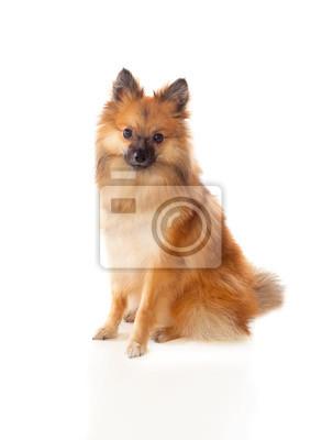 059e2546b14 Krásný hnědý pomeranský pes plakáty na zeď • plakáty Pomeranian ...