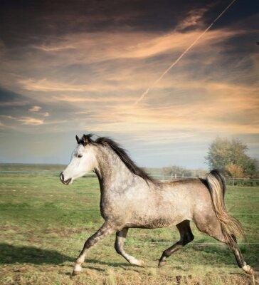 Plakát krásný šedý hřebec kůň běží na volné pastvině nad pozadím