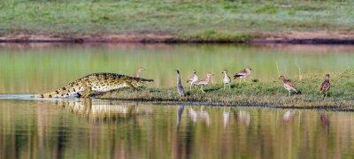 Plakát Krokodýl nilský v Kruger National Park, Jihoafrická republika