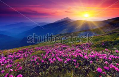 Plakát Květy růžové růžové rododendron na letní hory