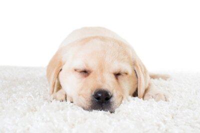 Plakát labrador štěně spí na měkký koberec