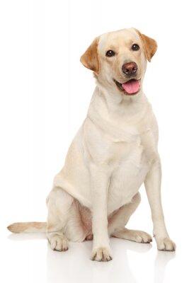 Plakát Labradorský retrívr pes