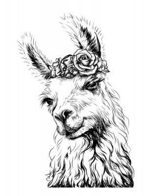 Plakát Lama/Alpaca. Sticker on the wall in the form of an outline, hand-drawn artistic portrait of a lama on a white background.