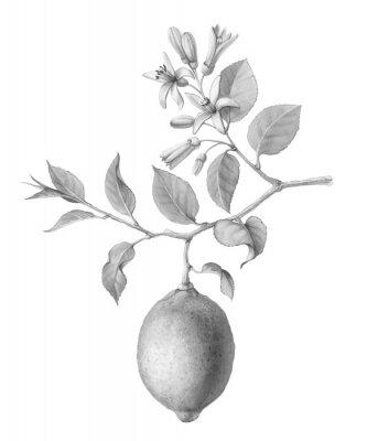 Plakát Lemon Tree Fruit and Flowers Hand-drawn Pencil Illustration Isolated on White