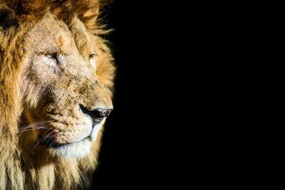 Plakát leone - lev