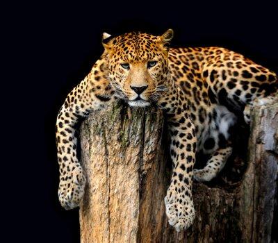 Plakát Leopard izolovaných na černém pozadí