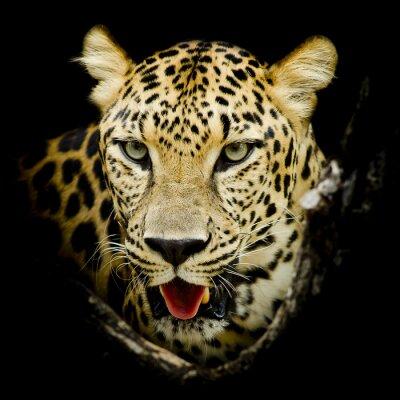 Plakát Leopard portrait