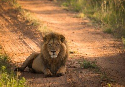 Plakát Lev na ranní africké cestě