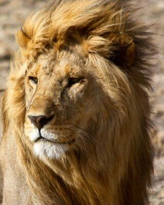 Plakát Lev v Africe