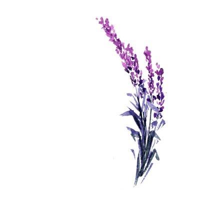Plakát Levandulová květina akvarel ilustrace. Rovná levandule větev. Svatební a Valentýn přání s květinovým vzorem. Láska a manželství. Jediné větvičky levandule. Izolované rastr