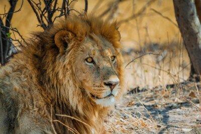 Plakát lion in africa