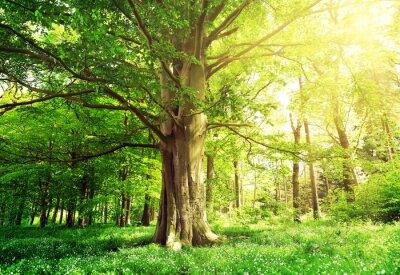 Plakát Listnatý les se starými buk