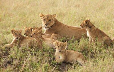 Plakát Little lion cubs relaxing
