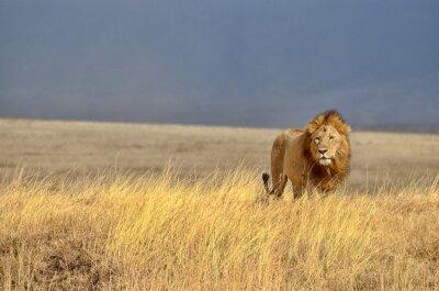 Plakát Lonely Lion