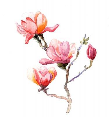 Plakát Magnolia akvarel na bílém pozadí